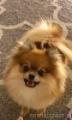 Piesek boo do reklam i filmów szpic miniaturka psi aktor